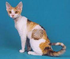 www.petclic.es la mayor tienda online de productos para #mascotas. La mayor biblioteca de contenido y consejos sobre mascotas. 1.000 consejos. 50.000 imágenes. Foto del #gato devon rex