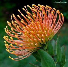 blue protea flower photo