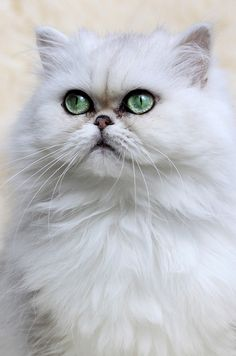 #ColourfulXmas Couldn't find a chinchilla persian as beautiful as mine but the eye colour is quite close here.
