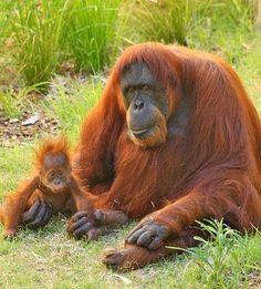 Timeline Photos - Orangutan Foundation International Australia