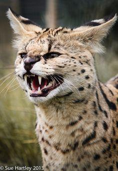 Serval by Sue Hartley