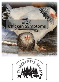sick chicken symptom