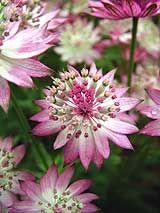 Astrantia- grows in partial shade