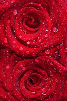 Red Roses and Water Droplets Beautiful Red Roses, Amazing Flowers, My Flower, Flower Power, Beautiful Flowers, Red Rose Pictures, Red Aesthetic, Aesthetic Roses, Simply Red