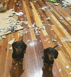 Funny Dachshund Pictures, Dachshund Facts, Dachshund Funny, Dapple Dachshund, Dachshund Puppies, Dachshund Love, Dog Pictures, Cute Puppies, Cute Dogs