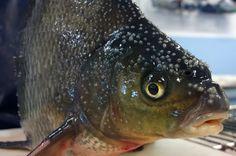 """Pellon Miekojärvestä kalastettu kaksikiloinen lahnauros """"hääpuvussaan"""""""