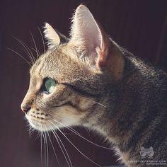 """«From @nicoelgato: """"watching the sunrise"""" #catsofinstagram»"""