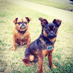 Brussels Griffons... I want one