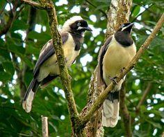 Cayenne Jay, Venezuela - photo by Pete Morris, via birdquest-tours