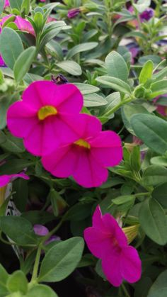 Calibrachoa Superbells Pink flowers look great when paired with orange and yellows! Together they can make any arrangement seem tropical!