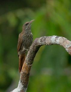 Rondaniamuisspecht - Dusky-capped Woodcreeper - Arapaçu-de-rondônia (Lepidocolaptes fuscicapillus)