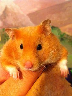 Hamster (cinnamon colored)