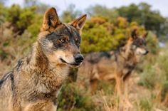 Ainda há lobos em Portugal. http://www.portugalnummapa.com/lobo-iberico/