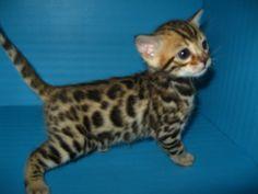 Picture of Bengal Cat - Designer Spots Bengal Cats - #bengalkittens -Tops Bengal Cat Breeds at Catsincare.com!