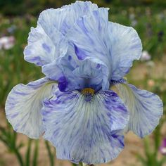 Tall Bearded Iris 'Gnu Blues'