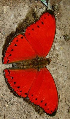 .INCREDIBLE!! - WHO WOULD BELIEVE A BUTTERFLY COULD BE SOOO RED!! ⭕️