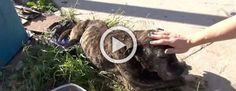Lo que hicieron a este pitbull abandonado te hará llorar. Pero hay un final feliz! #viral
