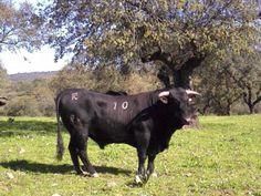 Experiencias agroganaderas de un biologo: Eleccion de un toro