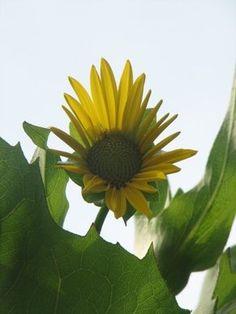 Sunflowers always make me smile