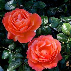Livin Easy Rose Plant Orange Floribunda Rose by FreshGardenLiving