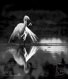 Great Egret - Ardea alba by bvanderkrieken