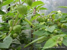Golden berries in my greenhouse. Self Sufficient, Berries, Around The Worlds, Clouds, Dance, Garden, Plants, Pictures, Food