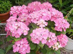 Cum ingrijesti corect Hortensia (Hydrangea) ca sa infloreasca pana toamna Hortensia Hydrangea, Verbena, Wisteria, Clematis, Cactus, Floral Wreath, Home And Garden, Gardening, Wreaths