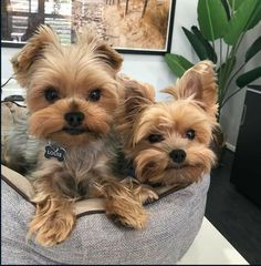 Cute Animals Images, Animals And Pets, Baby Animals, Yorkie Haircuts, Girl Haircuts, Yorkshire Terrier Haircut, Yorkshire Terriers, Puppy Haircut, Yorkie Puppy