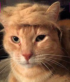 34 Best Donald Trump Cat Meme Images Cat Memes Donald Trump Hair