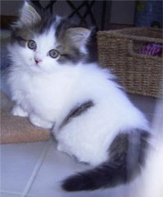 Munchkin Kitten--The Munchkin cat is a relatively new breed created by a random mutation that produced a cat with extremely short legs. Kittens And Puppies, Cute Cats And Kittens, I Love Cats, Crazy Cats, Kittens Cutest, Ragdoll Kittens, Bengal Cats, Siamese Cats, Pretty Cats