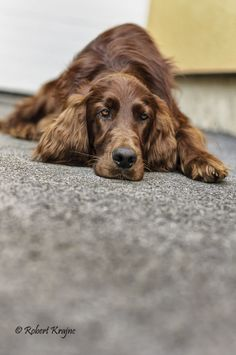Irish Setter, Waiting,  such a typical pose