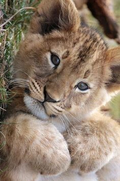 The sweet side of wild cats - 65 photos of the world of big cats - Archzine.fr wild cats, little lovable lion Big Cats, Cats And Kittens, Cute Cats, Nature Animals, Animals And Pets, Beautiful Cats, Animals Beautiful, Pretty Animals, Hello Beautiful