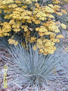 Achillea 'Terra Cotta' with Blue Oat Grass