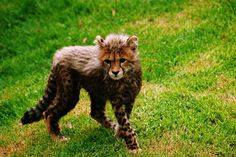 baby cheetah: gray mantle when born