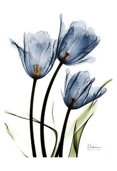 Art Print: Indigo Infused Tulips by Albert Koetsier : Art Prints Quotes, Wall Art Prints, Fine Art Prints, Poster Prints, Xray Flower, Flower Art, Arte Floral, Watercolor Flowers, Watercolor Paintings