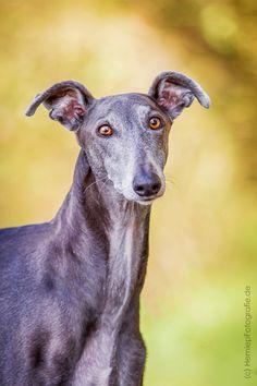 Galgo, Hündin, Portrait, Hund, Hundefotografie, Tierfotografie, Windhund, Portät, Marburg,