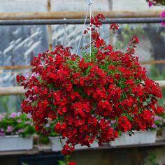 kwiaty balkonowe - Szukaj w Google