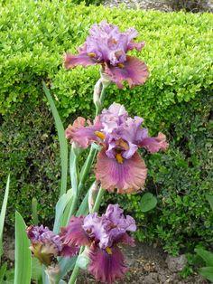 Iris 'Nelly Tardivier' http://www.pariscotejardin.fr/2013/06/iris-nelly-tardivier/