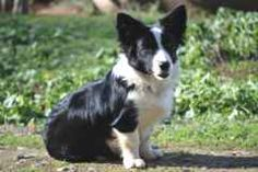 Border Collie + Corgi = Borgi We're trying to adopt one of these!! Soo cute and smart!!