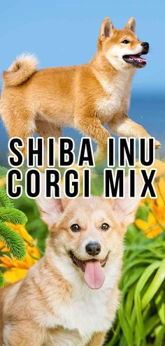The Shiba Inu Corgi mix is quickly gaining popularity. But find out what you can expect from this mixed breed here, from personality to raising puppies! Shiba Inu Corgi Mix, Corgi Mix Puppies, Corgi Breeders, Corgi Mix Breeds, Cute Teacup Puppies, Pembroke Welsh Corgi Puppies, Black Lab Puppies, Shepherd Puppies, Dog Breeds