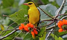 Oriolus oriolus known as Golden Oriole or Eurasian Oriole, is a small species of bird found throughout Europe and western Asia.