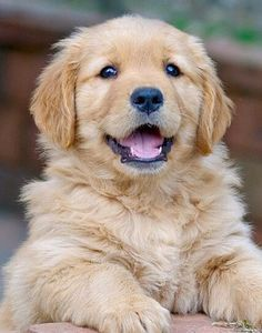 Cuteness (Term) Dogs Golden Retriever, Golden Retrievers, Cute Puppies, Pure Products, Doggies, Bucket, Animals, Little Puppies, Animales