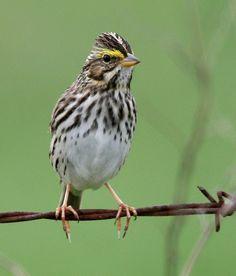 Passerculus sandwichensis [Savannah Sparrow]