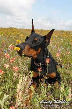 Dobie flowers.     Once you love one, you'll never forget it.