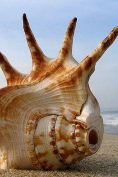 Horned Shell