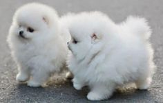 5 Cutest Teacup puppies you have ever seen | The Pet's Planet