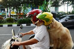 Cool rider Ace on the back on the motorbike, on January 12, 2015, in Surabaya, Indonesia. A pair of dogs enjoy a bit of bark-and-ride – as they weave through Indonesiaís traffic on the back of a motorcycle. Wearing red-framed sunglasses and a helmet the two golden retrievers happily sandwich their owner on the fast bike. (Photo by Jefta Images/Barcroft Media/ABACAPress)