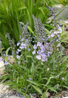 Hagedesignerens hjørne « vårstauder Plants, Plant, Planets