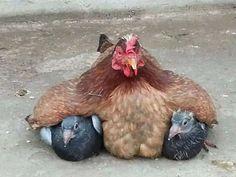 12 fotos que provam que as galinhas são as melhores mães do reino animal
