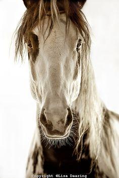 Wild Spanish Paint Mustang......Stunningly Beautiful.